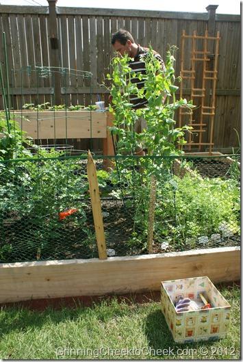 peas in a garden