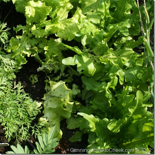 backyard garden lettuce